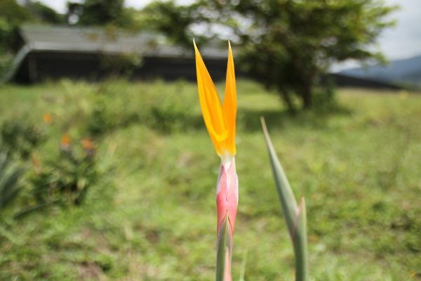 Flor de ave del paraiso