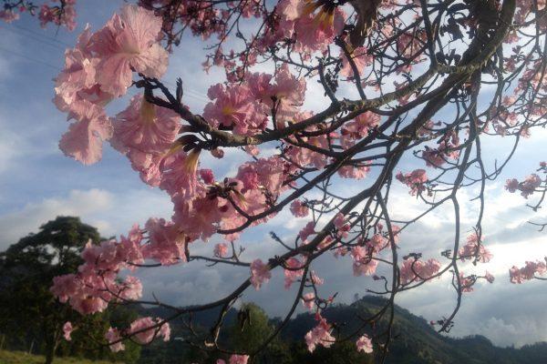 Flor del Ocobo