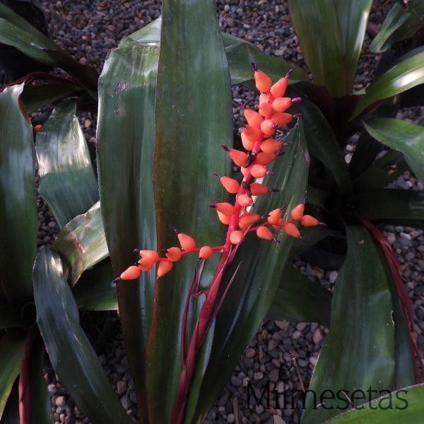 Bromelia Aechmea Foster favorite