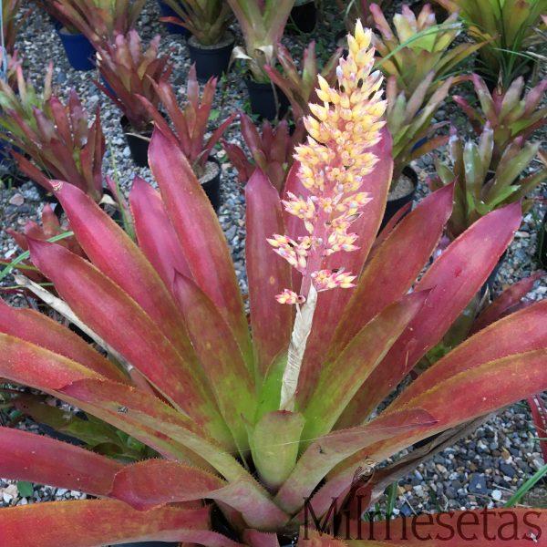 Aechmea latifolia